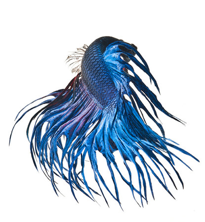 foto siamese fighting fish visarute angkatavanich